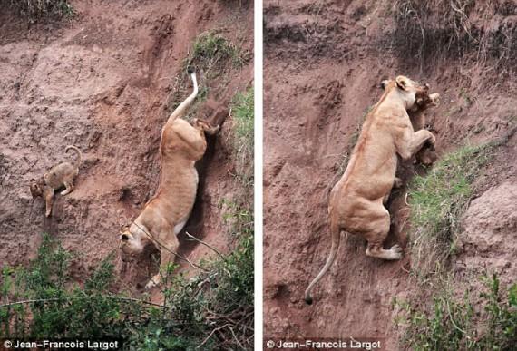 親ライオンが助けに行く