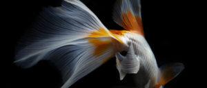 日本×金魚×アート